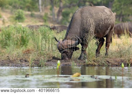 The African Buffalo Or Cape Buffalo (syncerus Caffer) On The Shore Of Waterholes.a Big Black African