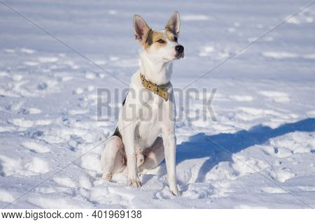 Portrait Of Large Mixed Breed White Dog With Black Spots Sitting Lonely On A Fresh Snow And Looking