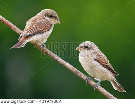Red-backed Shrike, Lanius Collurio. Two Young Birds Sit On A Branch On A Beautiful Green Background