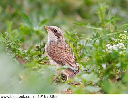 Red-backed Shrike, Lanius Collurio. A Young Bird Sits On The Ground Among The Grass And Wildflowers,