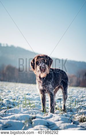 Portrait Of A Hunting Dog,rough-coated Bohemian Pointer, In A Snowy Landscape With An Interested And