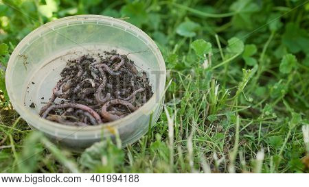 Earthworms In A Jar. Red Worms In A Box In The Manure, Against A Background Of Green Grass. Fishing