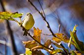 A Ruby Crowned Kinglet Perched in Tree poster