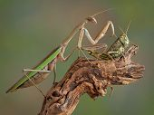 A praying mantis is touching a large grasshopper on his back. poster