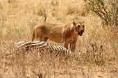 A bloody lioness (Panthera leo) stands panting over her fresh kill of a zebra. poster