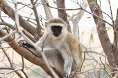 Vervet Monkey (Chlorocebus pygerythrus) stares from a tree branch poster