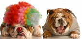 english bulldog laughing at another dog dressed up with clown wig on poster