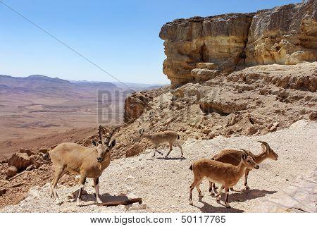 Herd Of Mountain Goats