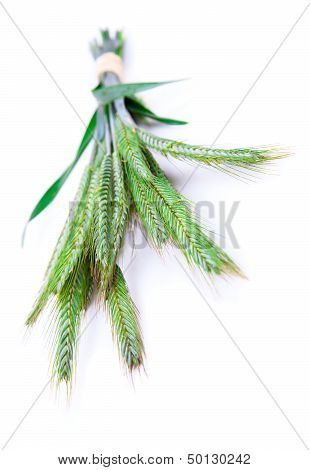 Green Rye Spikes (secale Cereale),