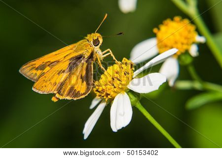 Butterfly Feeding On Little Flower