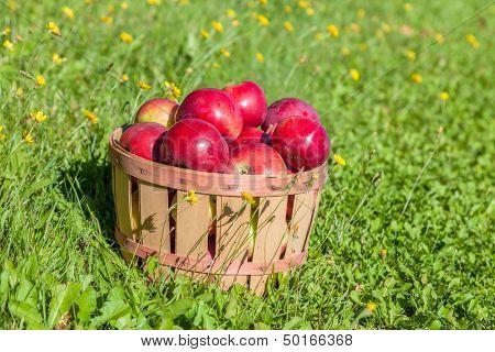 Freshly picked apples in a half bushel basket.
