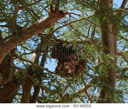 Wild bee honeycomb hanged on the acacia tree poster