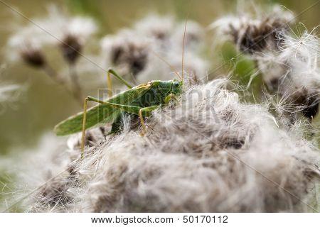 Green grasshopper - macro shot