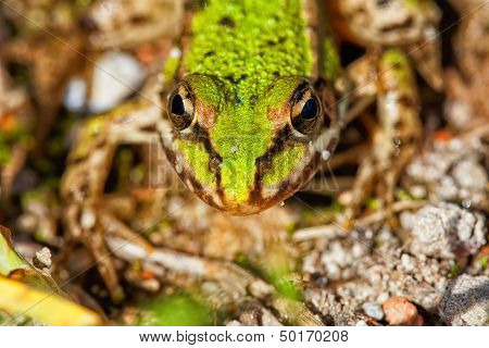 Frog Pond - Pelophylax esculentus in a macro shot poster