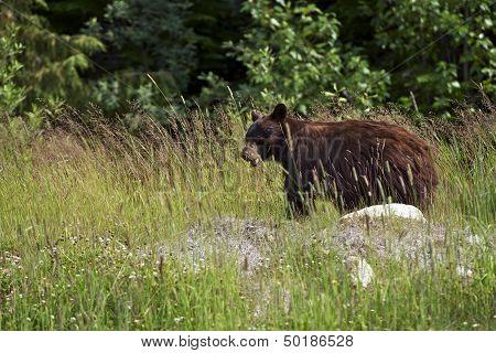 Black Bear In A Wild