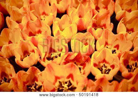 Orange Tulips Bunch