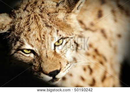 Wild Lynx Taxidermy