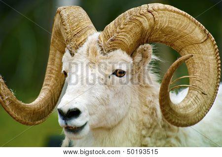 Dall Sheep Closeup