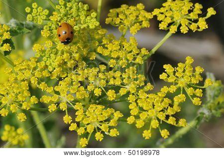 Ladybird on Wild Parsnip