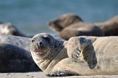 Harbor seal stick one's tongue out on the sandy beach poster