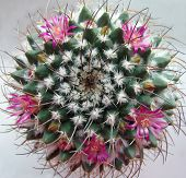 Cactus with beautiful pink flowers. Nipple-cactus. Exotic plant. poster