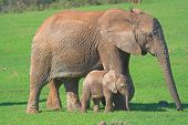 mother & baby african elephant poster