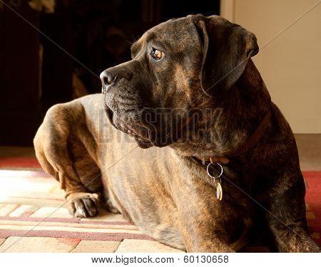 Italian Mastiff Cane Corso