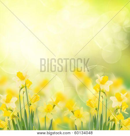 spring growing daffodils in garden