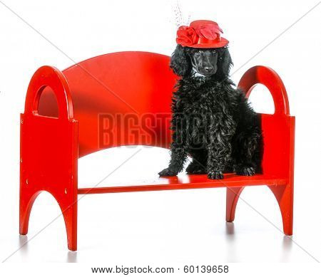 female dog - standard poodle wearing a red had sitting on a red bench isolated on white background poster
