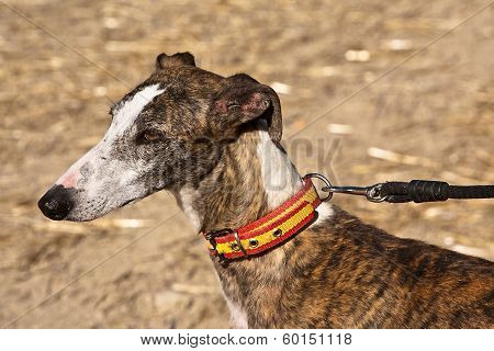 The Greyhound is a breed of dog native of Spain