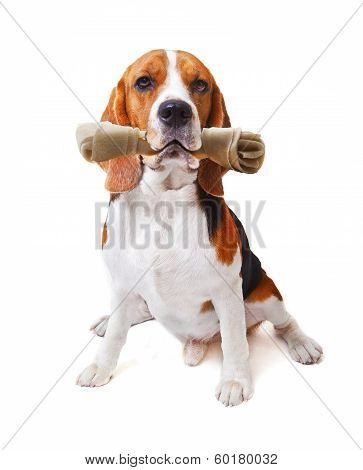 Face Of Beagle Dog With Rawhide Bone In His Mouth Isolated White Background Use For Cute  Animals An