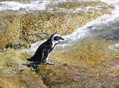 Penguin walking from a rock into the sea to swim poster