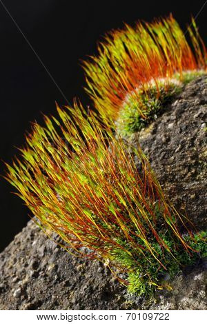 Common moss found growing on a wall in North Yorkshire , England.