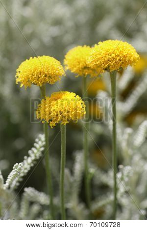 santolina chamaecyparissus commonly known as cotton lavender. It produces masses of small yellow flowers.