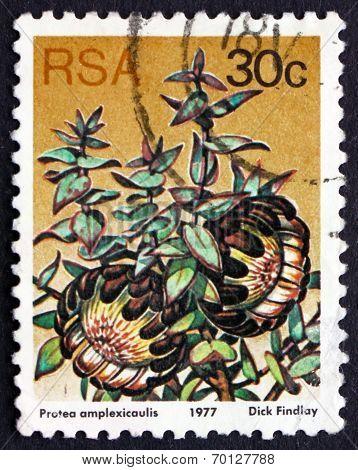 Postage Stamp South Africa 1977 Clasping-leaf Sugarbush, Floweri