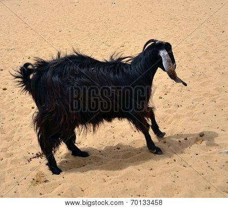 black Female goat over sand