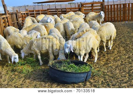 Sheep eating grass in the farm