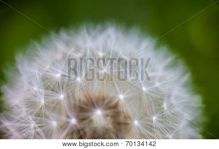 Globular Head Of Seeds With Downy Tufts Of The Dandelion Flower