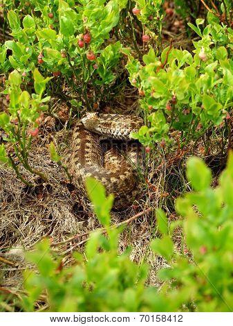 Common Viper In The Bluberry Shrubbs