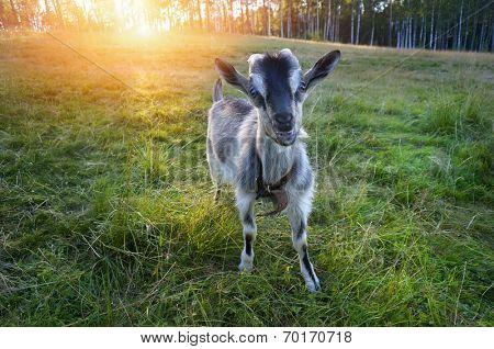 young goat chews a fresh green grass  poster
