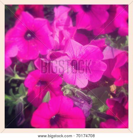 instagram of beautiful petunia flowers closeup