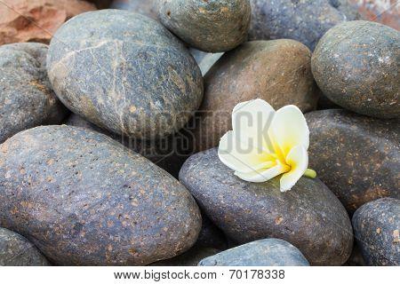 White plumeria flower on stones