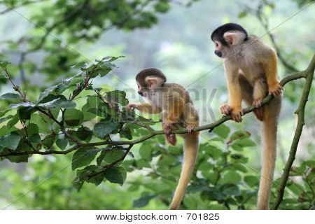 Two Baby Squirrel Monkey Out On Adventure