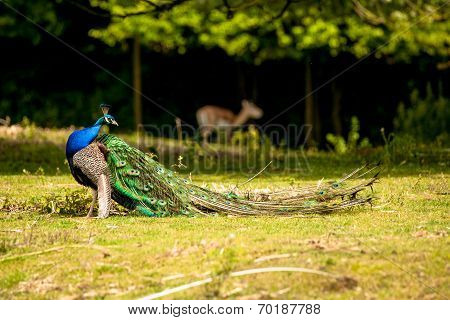 Peacock With Beautiful Feathers