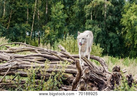 Beautiful Arctic Wolf Standing On A Tree