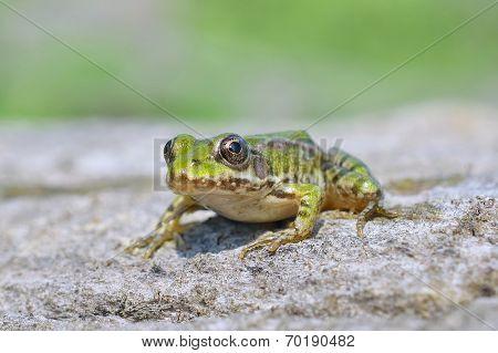 Edible frog ( Rana esculenta)