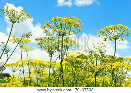 Bottom View Of Blooming Dill Herbs In Garden