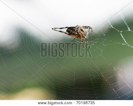 Female European Garden Spider On Cobweb Outdoors