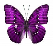 Close up of Purple butterfly in fancy color Isolated on White Background poster