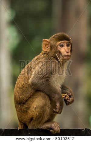 Monkey Taking A Break From Eating